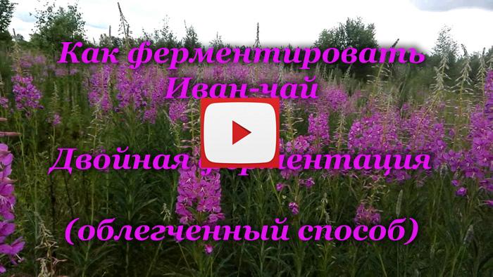 Заготовка Иван-чая на зиму: пошаговая инструкция
